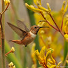 A male Allen's Hummingbird flying over Kangaroo Paws
