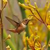 A male Allen's Hummingbird flying over Kangaroo Paws