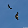 A Red-tailed Hawk being harassed by an American Crow