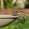 """This is a beautiful European Goldfinch that was photographed in my garden on February 25, 2015.  The European Goldfinch is found throughout Britain and migrates in September and October to spend the winter in mainland Europe. I reported this rare bird sighting to the Ornithology Collection Manager of the Natural History Museum of Los Angeles and this was his reply to me: """"This is one of many non-native species we're trying to keep track of, so it's great to have the photos and data. European Goldfinches have bred sporadically, but they don't seem (yet) to have established any persisting populations. However, all naturalized populations start out small, so it's always good to have the information."""""""