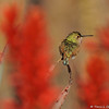 A male Allen's Hummingbird amongst Aloe plants