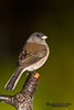 Oregon Junco (Junco hyemalis oreganus) is a genus of small grayish American sparrows.         Юнко