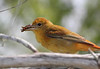 Summer Tanager female 2
