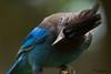 Steller's Jay (Cyanocitta stelleri) close up portrait.  Стеллерова черноголовая голубая сойка.