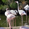Flamingo birds.