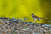 Killdeer (Charadrius vociferus).  The Killdeer is a medium-sized plover.   Крикливый зуёк.