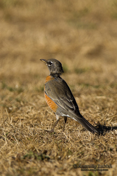 American Robin (Turdus migratorius).  The American Robin or North American Robin is a migratory songbird of the thrush family. Странствующий дрозд