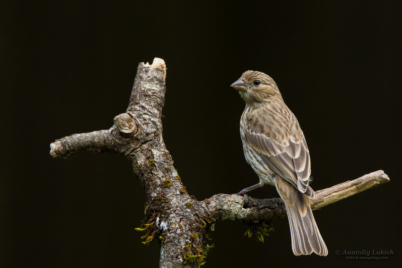 House Finch (Carpodacus mexicanus) is a bird in the finch family Fringillidae.  Мексиканская чечевица.