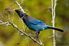 Steller's Jay (Cyanocitta stelleri).  A large, dark jay of evergreen forests in the mountainous West.  Стеллерова черноголовая голубая сойка.