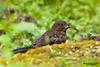 Immature Spotted Towhee (Pipilo maculatus). The Spotted Towhee is a large New World sparrow. Красноглазый тауи.