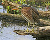 Green Heron (Immature): Ridgefield NWR (August, 2012)