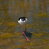 Black-Necked Stilt Shollenberger Park, Petaluma, California