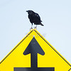 Yes! i have spotted you. American crow: Corvus brachyrhynchos, O'Toole Road, sign