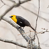 This photo of the western rarity was in a marshy area of the property before the golf season began. Kanata Lakes Golf Course, yellow-headed blackbird: Xanthocephalus xanthocephalus