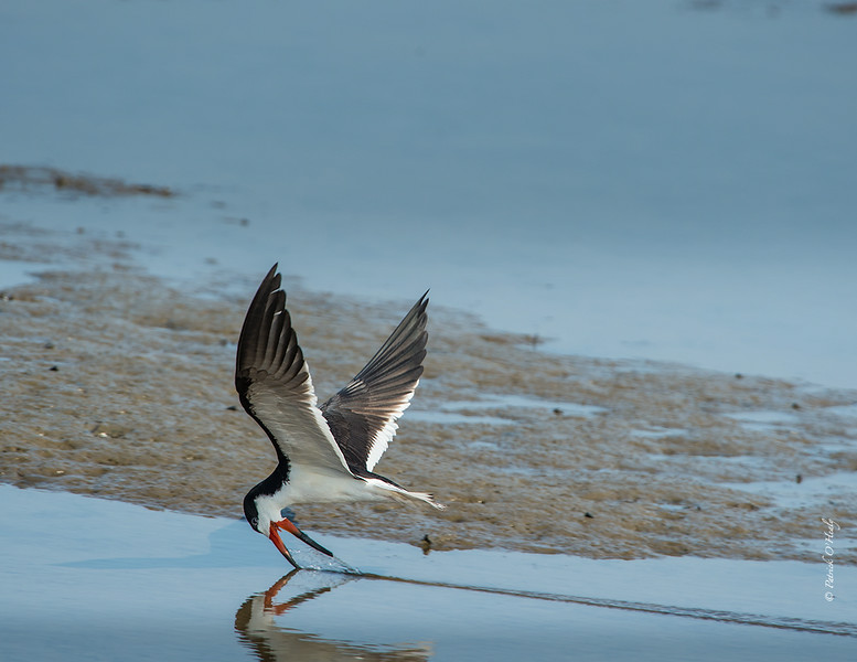This Skimmer was caught doing its prototypical feeding behavior.  We love to photograph them in still water to capture the wake they leave behind.  Taken at Bolsa Chica Wildlife Reserve in Huntington Beach, CA.
