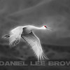 SANDHILL CRANE, PHOTO ILLUSTRATION
