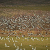 Snow Geese Flock Takeoff