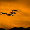 These Sandhill Cranes were perfectly back-lit by the setting sun.