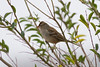 White-crowned Sparrow IMG_0665