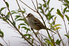 White-crowned Sparrow IMG_0667