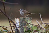 White-crowned Sparrow IMG_0674