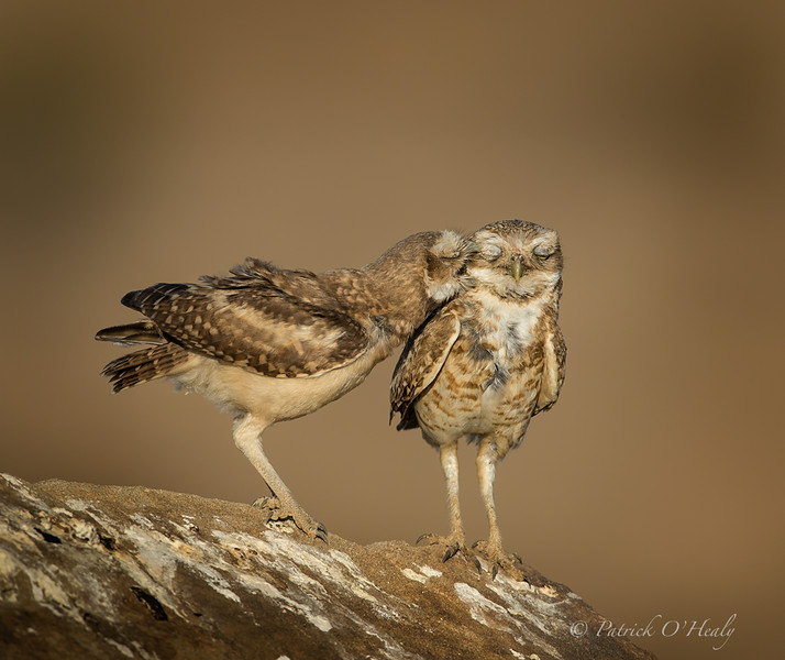 Burrowing Owl Fledge with Dad