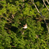 Yellow-billed Cuckoo_Arkansas-3560