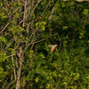 Yellow-billed Cuckoo_Arkansas-3559