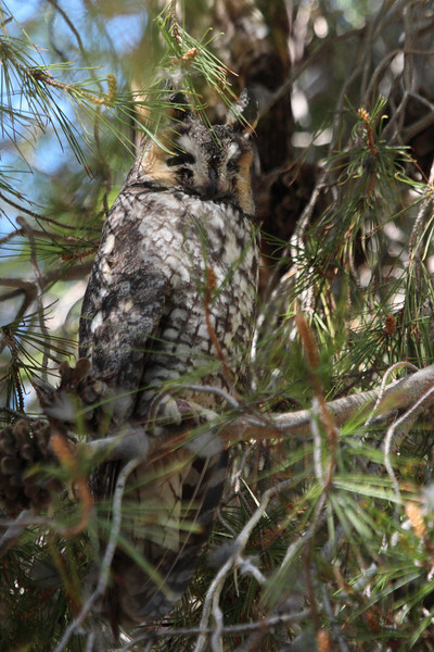 Long-eared Owl 085