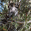 Long-eared Owl 058