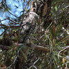Long-eared Owl 090
