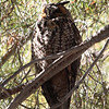 Long-eared Owl 116