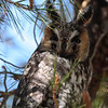 Long-eared Owl 132