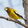 evening grosbeak: Coccothraustes vespertinus, Larose Forest, male