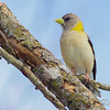 evening grosbeak: Coccothraustes vespertinus, female, Larose Forest