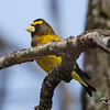 evening grosbeak: Coccothraustes vespertinus,male, Larose Forest