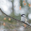 Bet ya can't eat only one. Beacon Hill, black-capped chickadee: Poecile atricapillus, Ottawa River