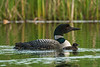 ACL-13-164: Adult Loon and chick