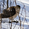 Sharp-shinned Hawk - Belleville