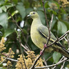 Pink-necked Green Pigeon (Female)