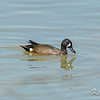 Alfred Lagoons, blue-winged teal: Anas discors, male