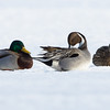 'Pintail with Mallard Bookends' Bank Street Bridge, northern pintail: Anas acuta