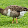 graylag cross goose, Mud Lake