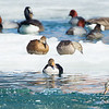 Male with two color variated females<br /> Bronte Harbour, king eider: Somateria spectabilis, male, female,Ontario