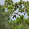 Bald eagle takes flight away from nest.