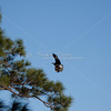 Bald eagle flying to nest in pine tree