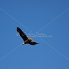 Mature bald eagle in flight
