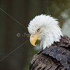 Head of bald eagle with feathers ruffled
