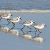 Sanderlings (Sandpiper family) near Ponce Inlet, FL