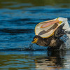 White Pelican Fighting Cormorant  For  A  Trout